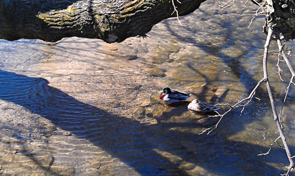 Campus Quacks. Submitted by Nic Matthews.