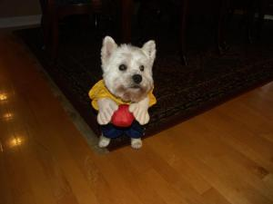 Chauncey, Kelsey Prena's dog, enjoys getting dressed up for Halloween
